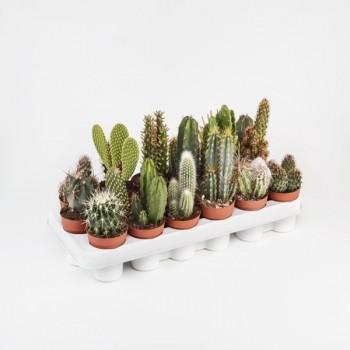 CACTO-THICK PLANTS